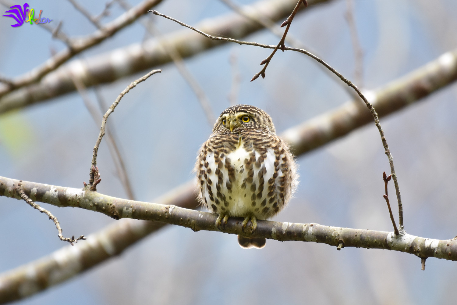 Collared_Owlet_5626