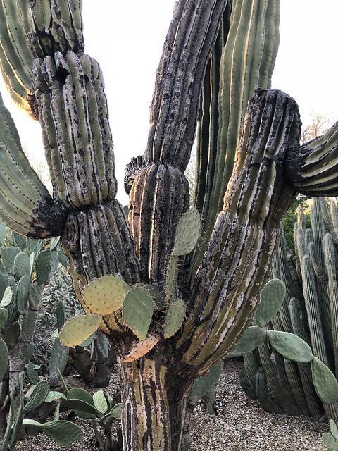 Prickley Pear growing out of a saguaro cactus