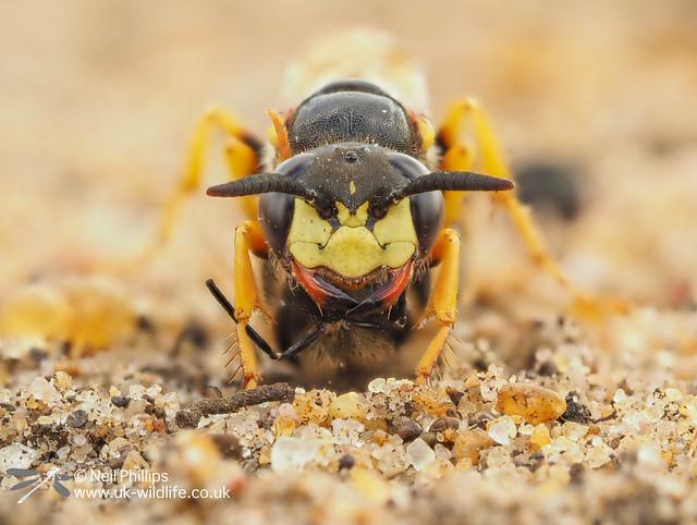 Bee wolf-4