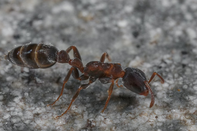 Pseudomyrmex gracilis 2018.02.05_3
