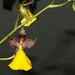 Cyrtochilum aureum 1-1 species orchid 1-18