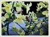 Brassica oleracea var. botrytis (Cauliflower, Broccoli, Calabrese, Romanesco)