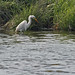 Great White Heron - Sandy Hook 01