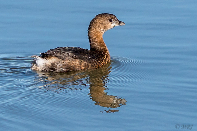 Short Tailed Grebe