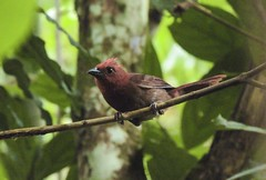 Crested Ant-tanager (Habia cristata)