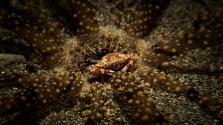 Harlequin Swimming Crab (Lissocarcinus laevis)