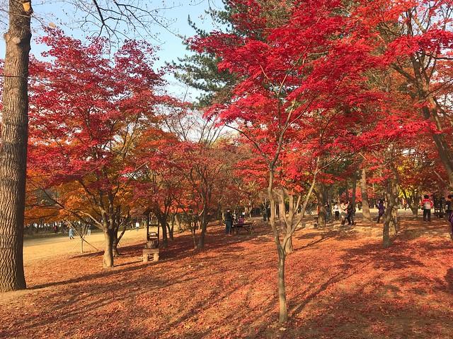 南怡島是冬季年歌的拍攝地,此時正值楓紅,一年四季都有不一樣的美景。