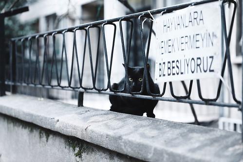 Turkey cat.