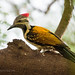 Black-rumped Flameback by pkbhat_20032003