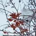 Рябина и снег