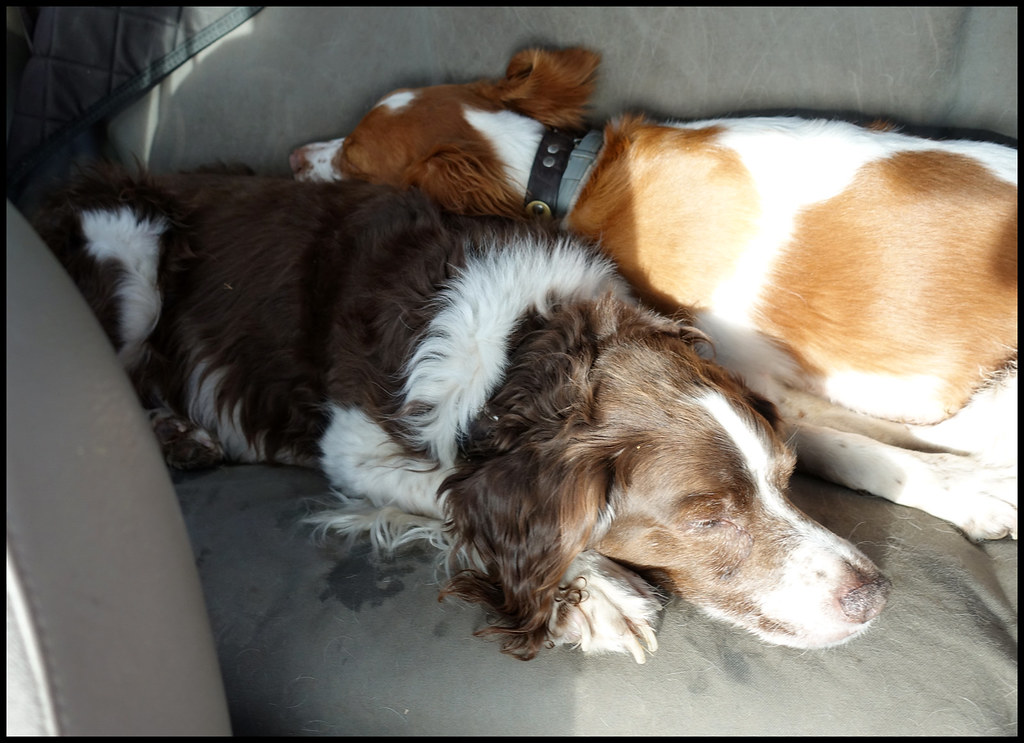 1-3-18 - Tired dogs on the way home in the Jeep