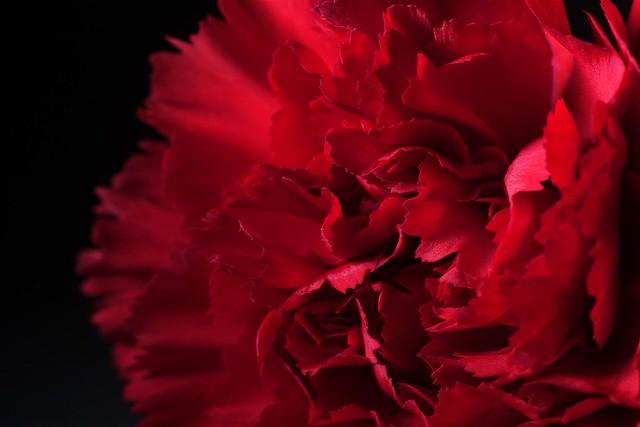 365 - Image 358 - Christmas Carnation...