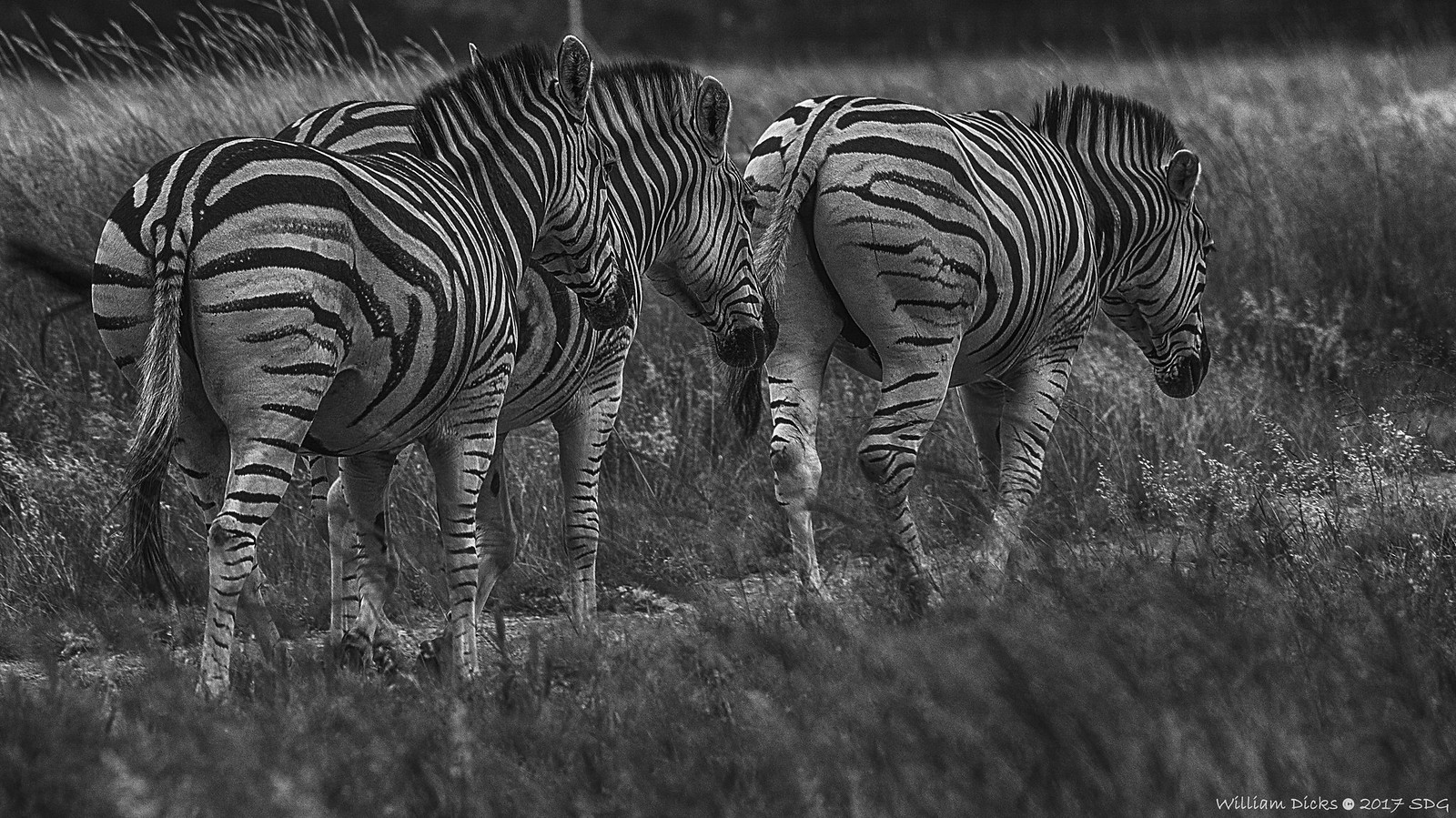 The Three Stooges, uhm, zebras!