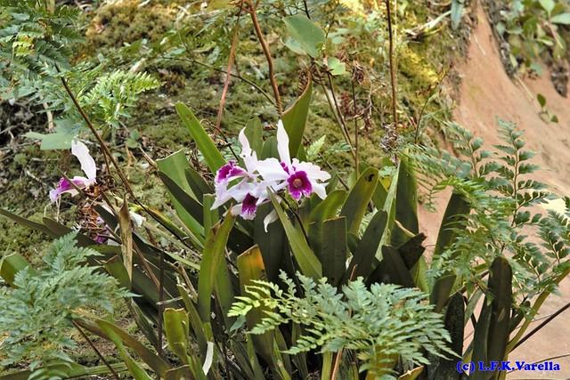 Laelia purpurata in situ