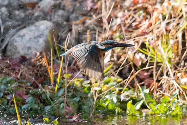 20171225-kingfisher-DSC_2475