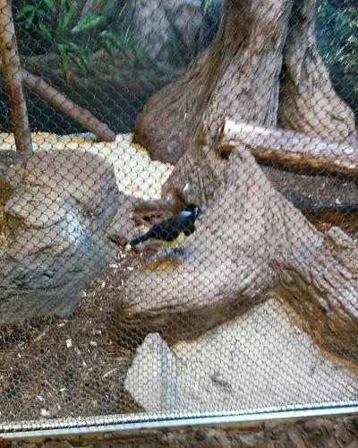 Plush-crested jay #toronto #torontozoo #birds #plushcrestedjay #latergram