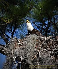 Bald Eagles shoot, 2013-12-22,Palm Harbor,Fl._IMG_2629_