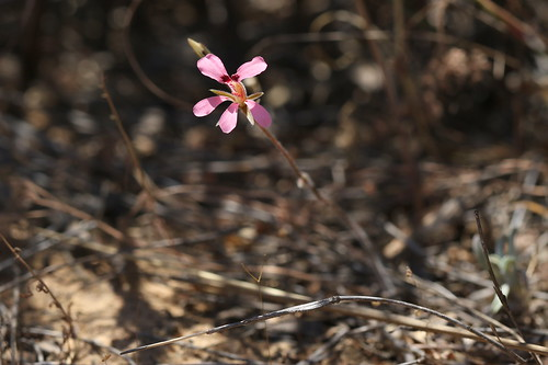 A small (about 12-14 cm) unknown tuberous Pelargonium species from section Hoarea