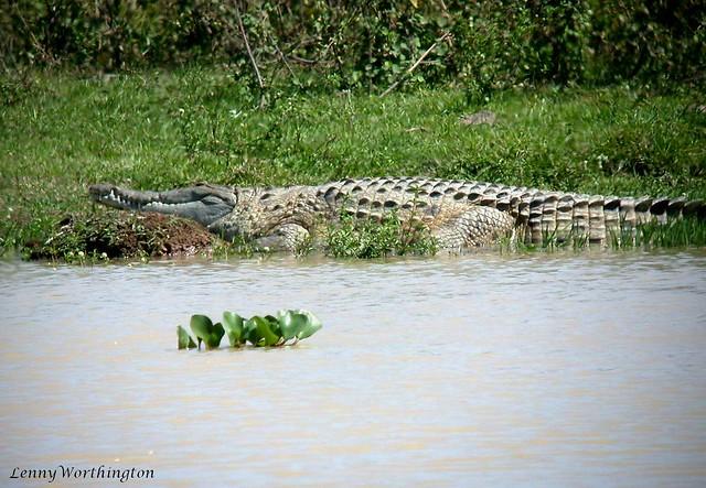 Orinoco Crocodile Crocodylus intermedius, Nikon E995