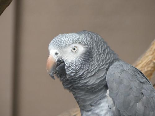 Grey Parrot (Psittacus erithacus)