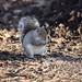 Kevin the Grey Squirrel