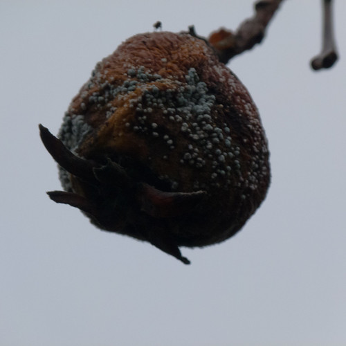 Medlar on the tree, well rotted