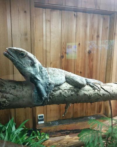 Frilled lizard (2) #toronto #torontozoo #reptiles #lizard #frilledlizard #latergram