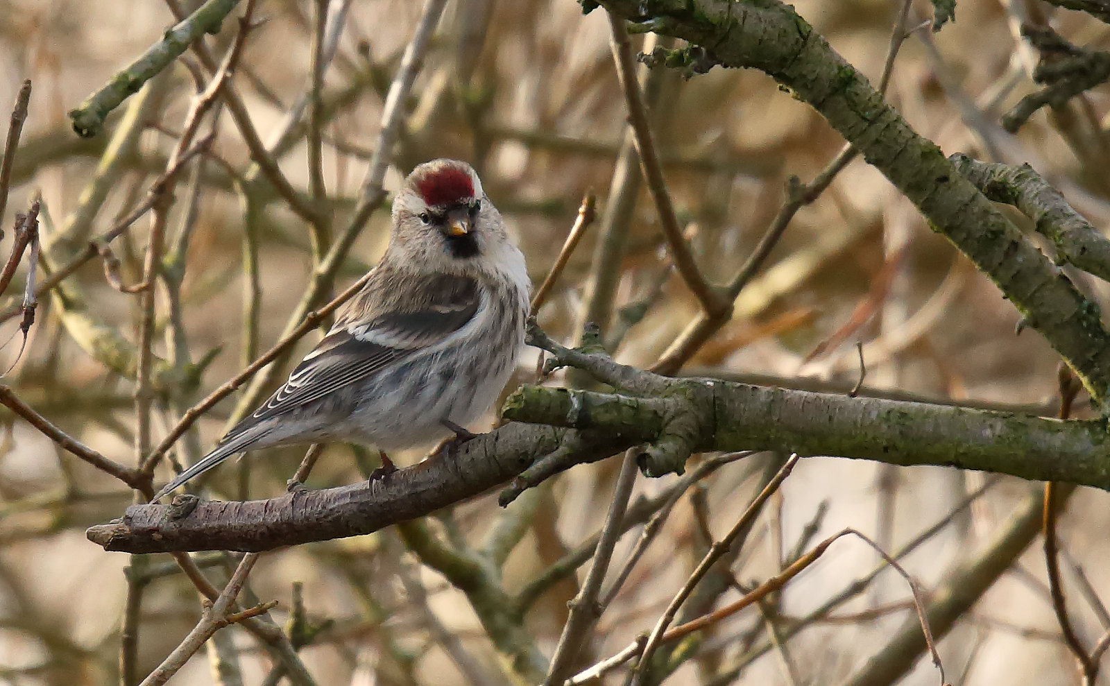 Common (Mealy) Redpoll