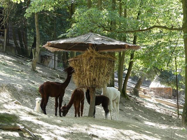 Alpaka, Zoo Brno