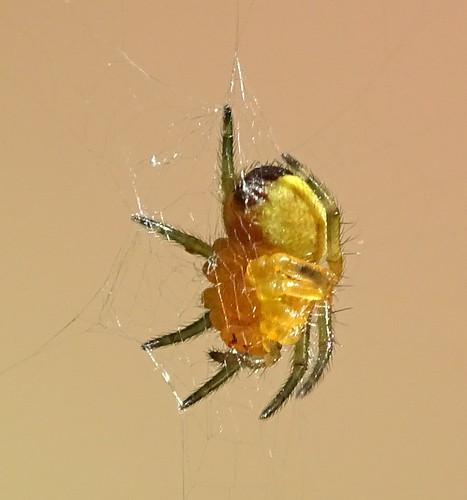 Kruisspin - Araneus diadematus (jong spinnetje)