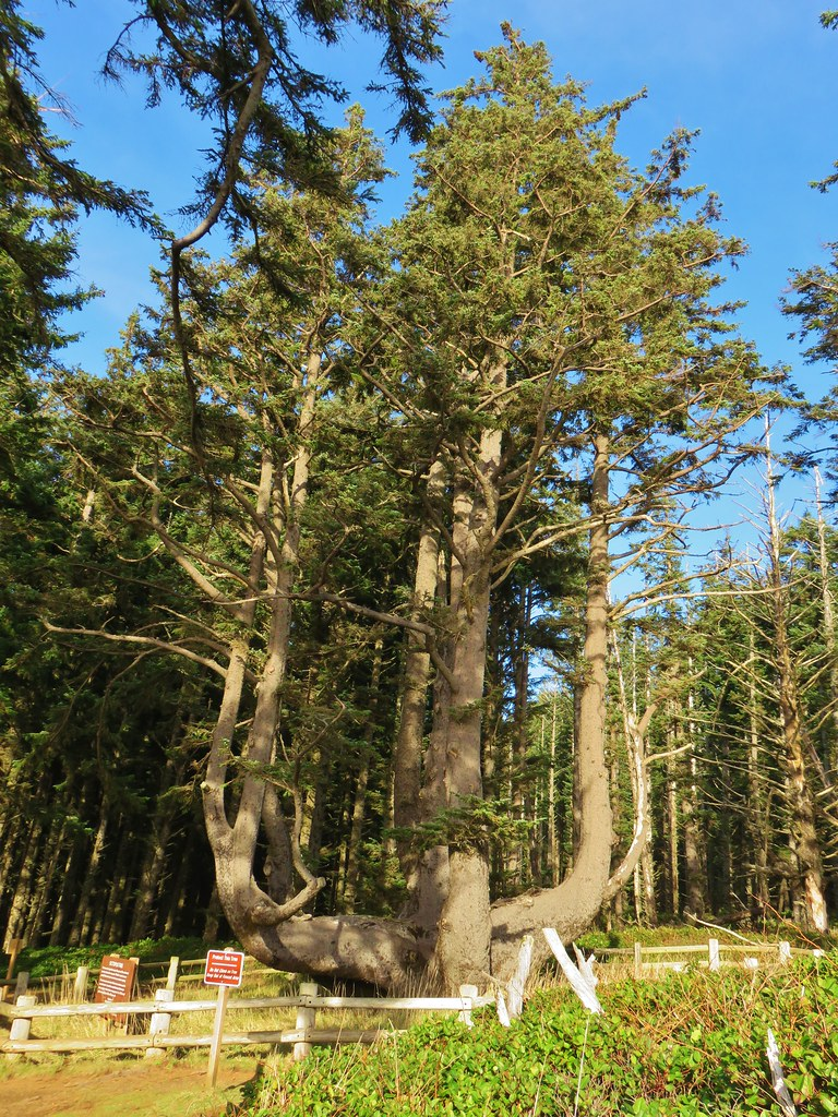 Octopus Tree at Cape Meares