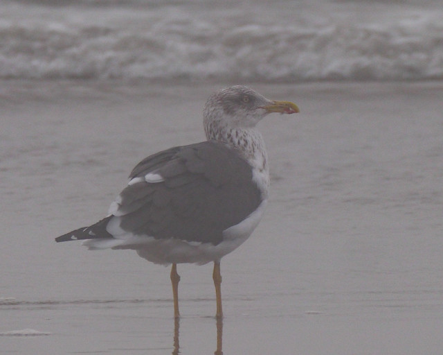 Lesser Black-backed Gull - 2
