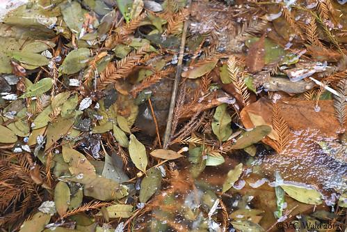 Tableau, frozen fallen foliage (Botany Pond)