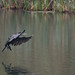 Cormorant - coming in to land