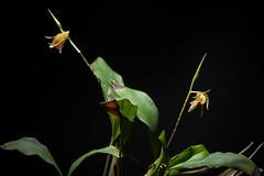 [Mt. Kinabalu Sabah Borneo, Malaysia] Coelogyne kinabaluensis Ames & C.Schweinf., O.Ames, Orchidaceae 6: 30 (1920)