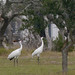 Whooping Cranes in Front Yard