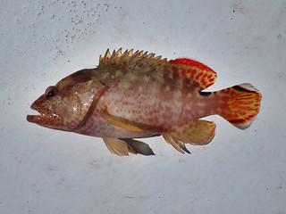marbled hatchetfish