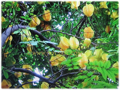 Prolific fruit-bearing tree of Averrhoa carambola (Star Fruit, Starfruit Carambola, Caramba, Country Gooseberry, Belimbing Manis in Malay), 29 Dec 2017