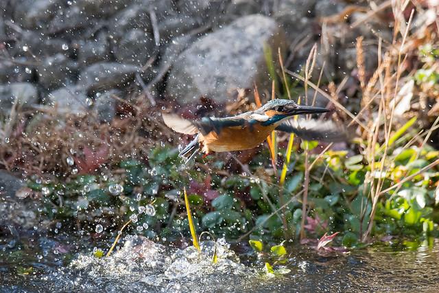 20171225-kingfisher-DSC_2474