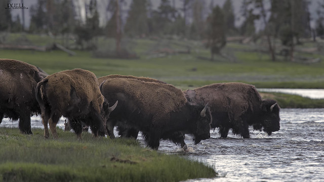 bison crossing, Nikon D3, Sigma APO 500mm F4.5 EX DG HSM