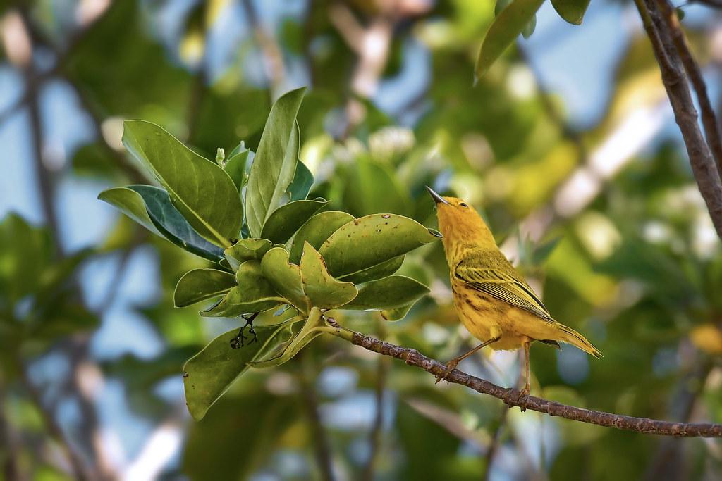 oiseaux exotiques  38640405435_2b488a2d55_b