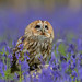 Tawny owl  (Strix aluco)