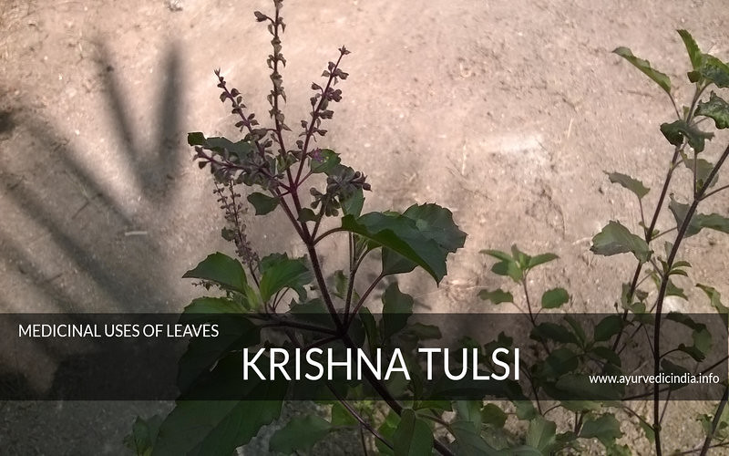 Krishna tulsi, information about tulsi,medicinal uses of leaves