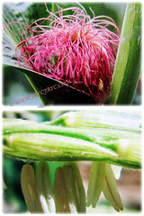 Captivating unisexual flowers of Zea mays (Maize, Corn, Sweet Corn, Indian Corn, Jagung in Malay), 2 Jan 2017