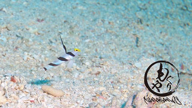 ヒレナガネジリンボウ幼魚ちゃんは1ヶ月ぶりにチェックしたら結構大きく成長してました♪