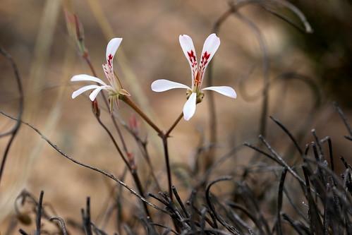 tuberous Pelargonium reflexum in wild, geophyte