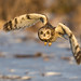 Short-eared Owl by Photosequence