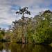 Swamp Bayou L'Ours - Kraemer LA