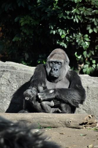 gorilla ゴリラ ニシゴリラ zoo animal westernlowlandgorilla 上野動物園 上野 ニシローランドゴリラ westerngorilla 恩賜上野動物園 動物園 ueno uenozoo