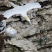 Gannet dives off the cliff